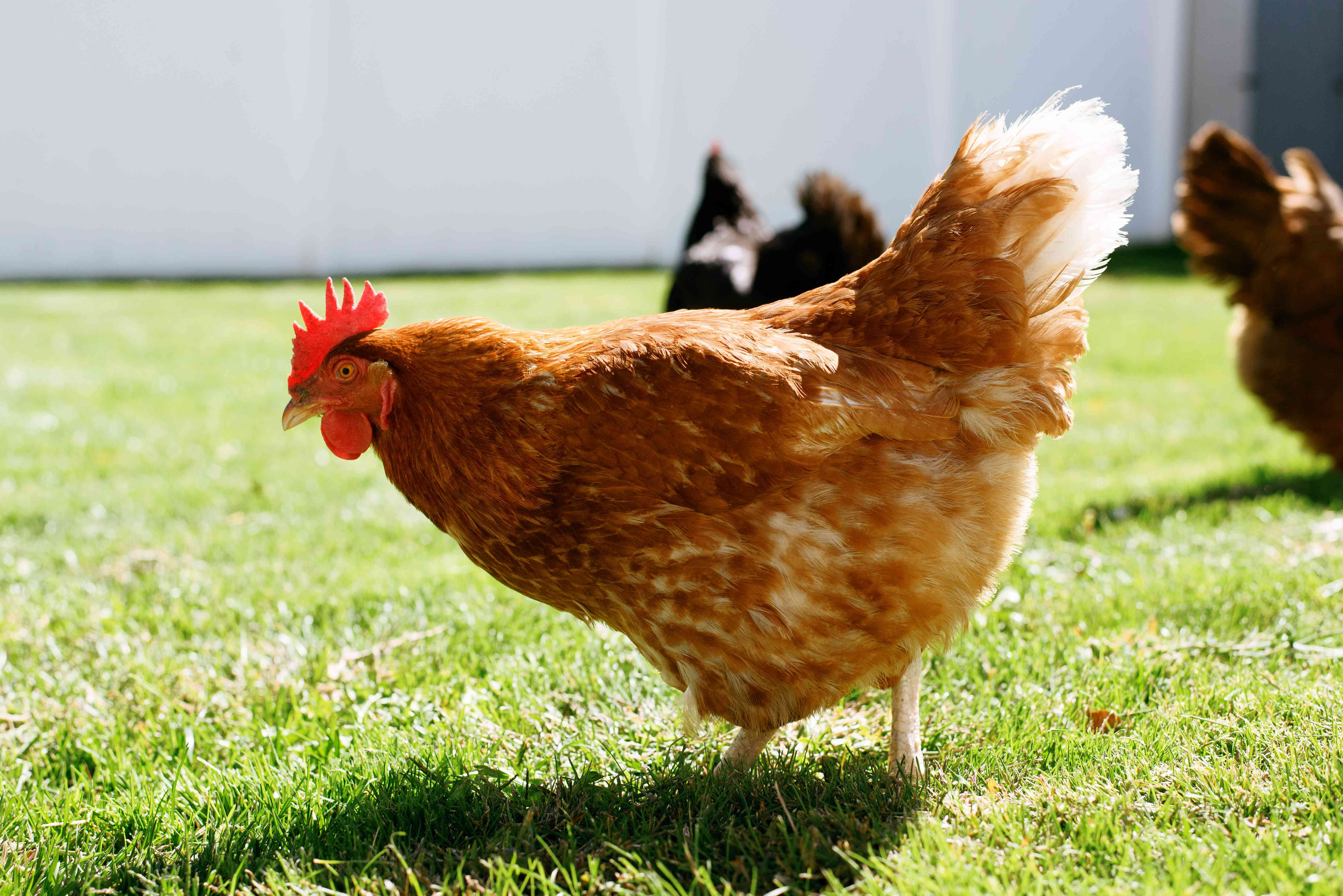 Brown chickens walking on grass to catch ticks and repel them naturally