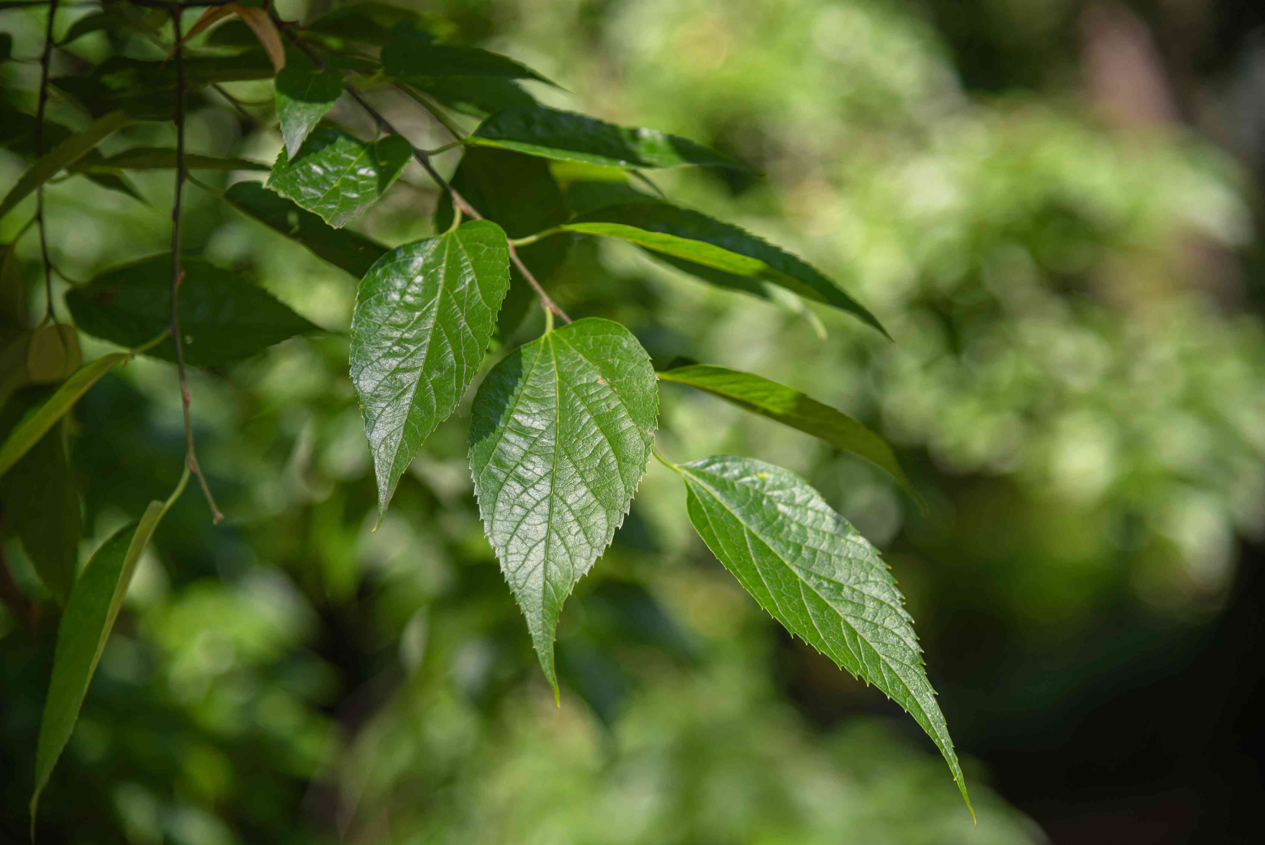 Hackberry tree branch with waxy green serrated leaves