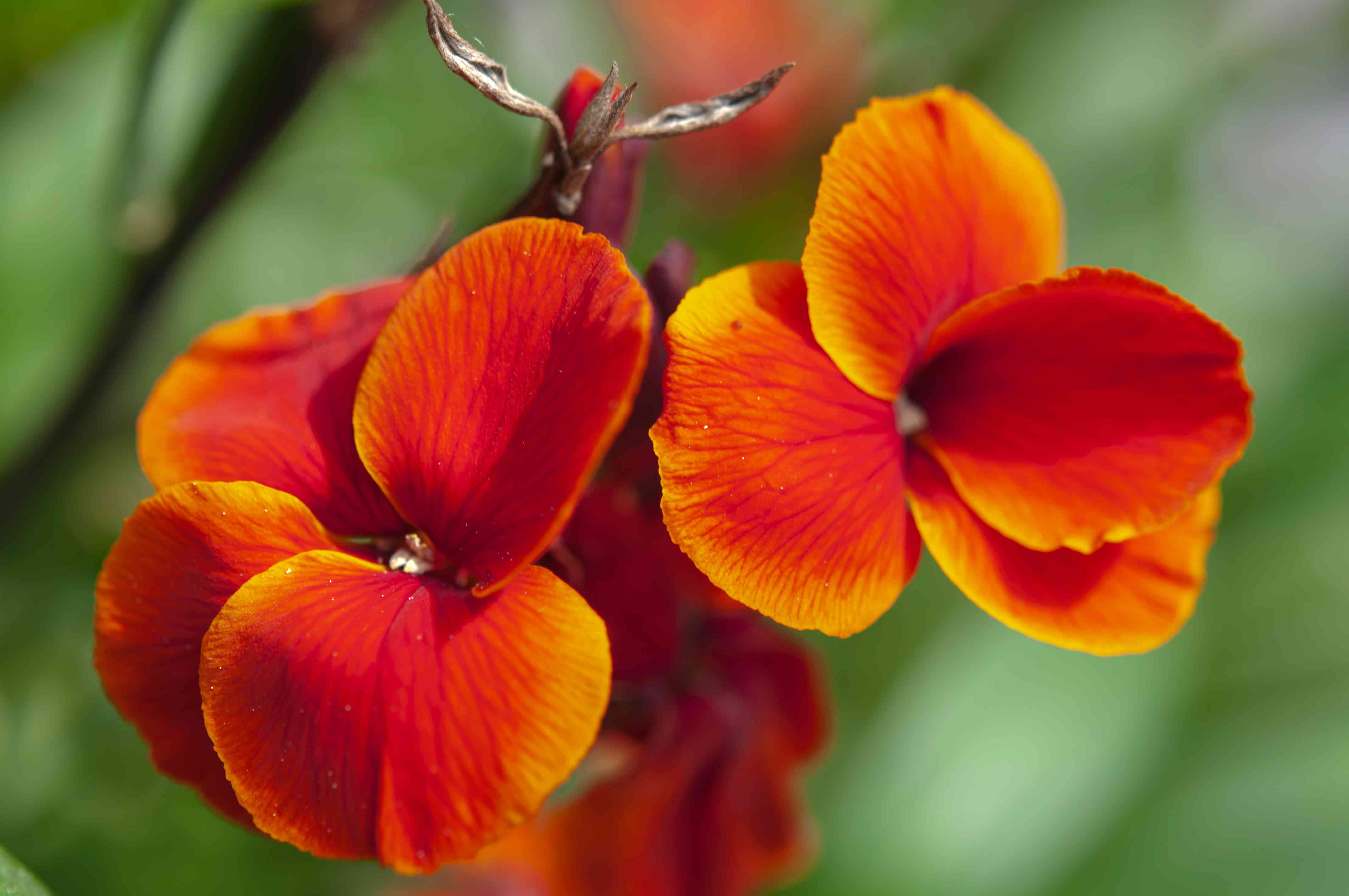 Fire king wallflower plant with red-orange flowers closeup