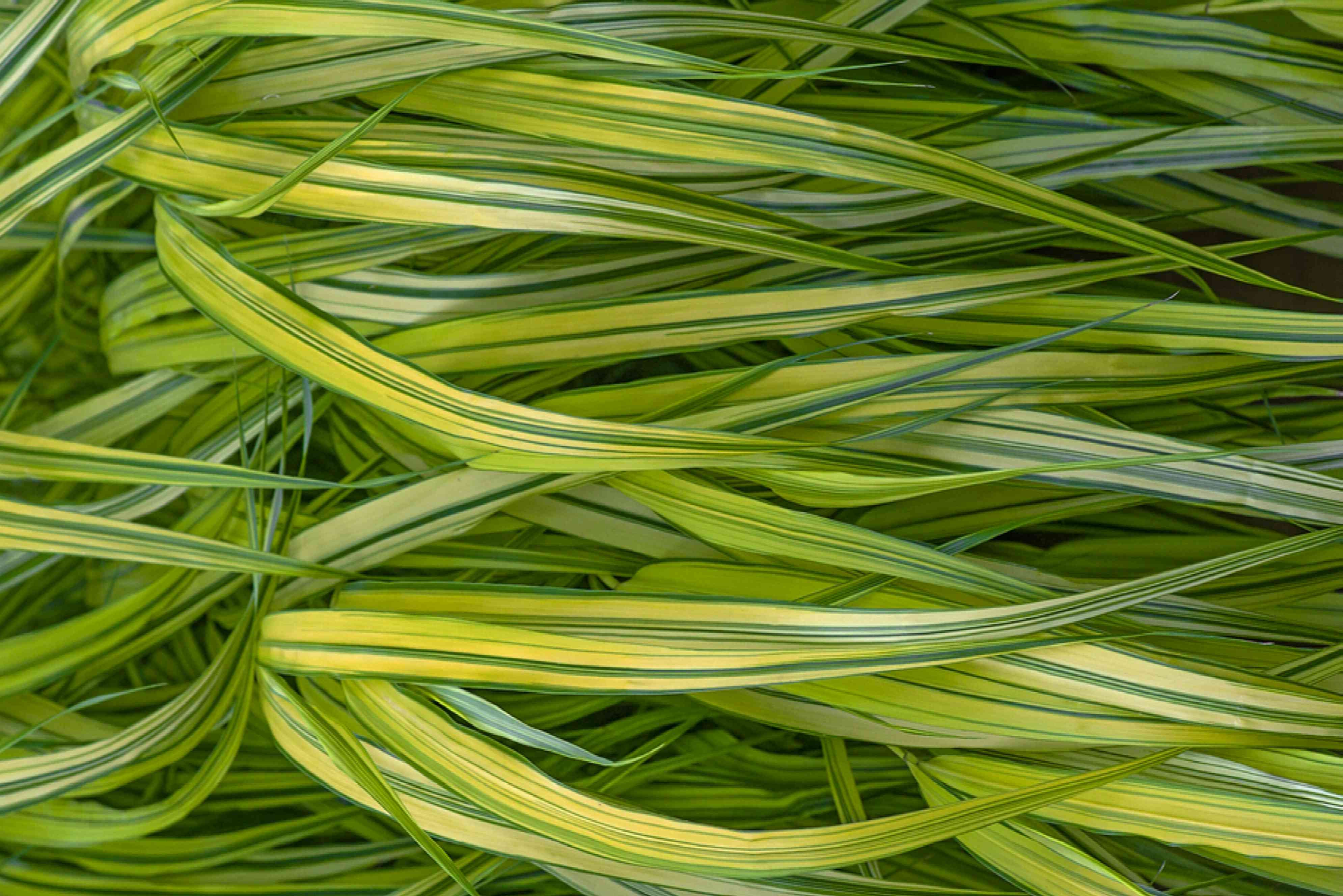 Golden Japanese forest grass blades with yellow-green blades and green stripes closeup