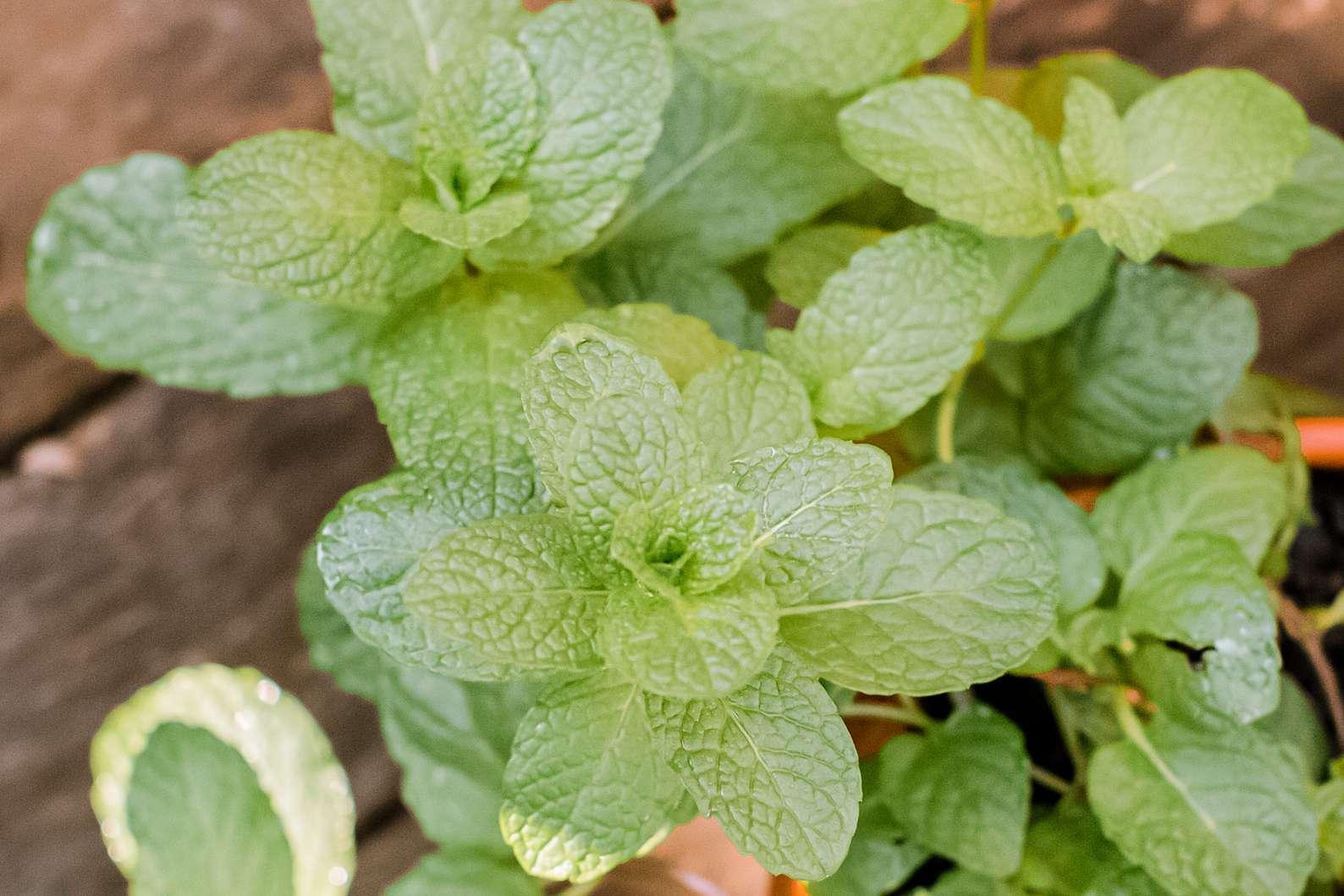 mint closeup