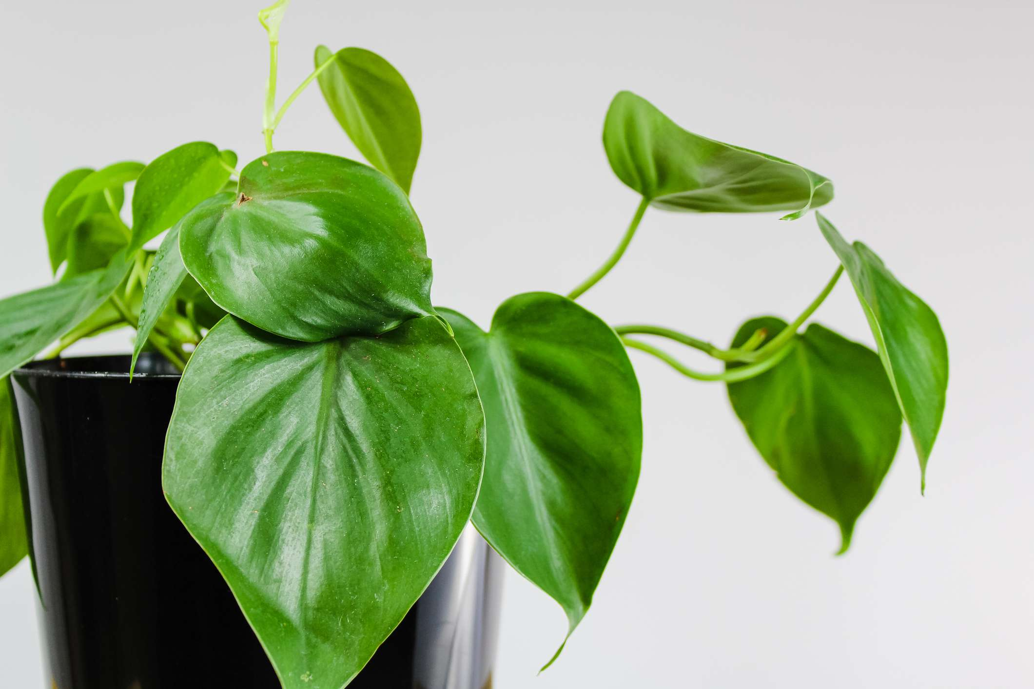 A small heartleaf philodendron (Philodendron hederaceum) in a black pot against a white wall.