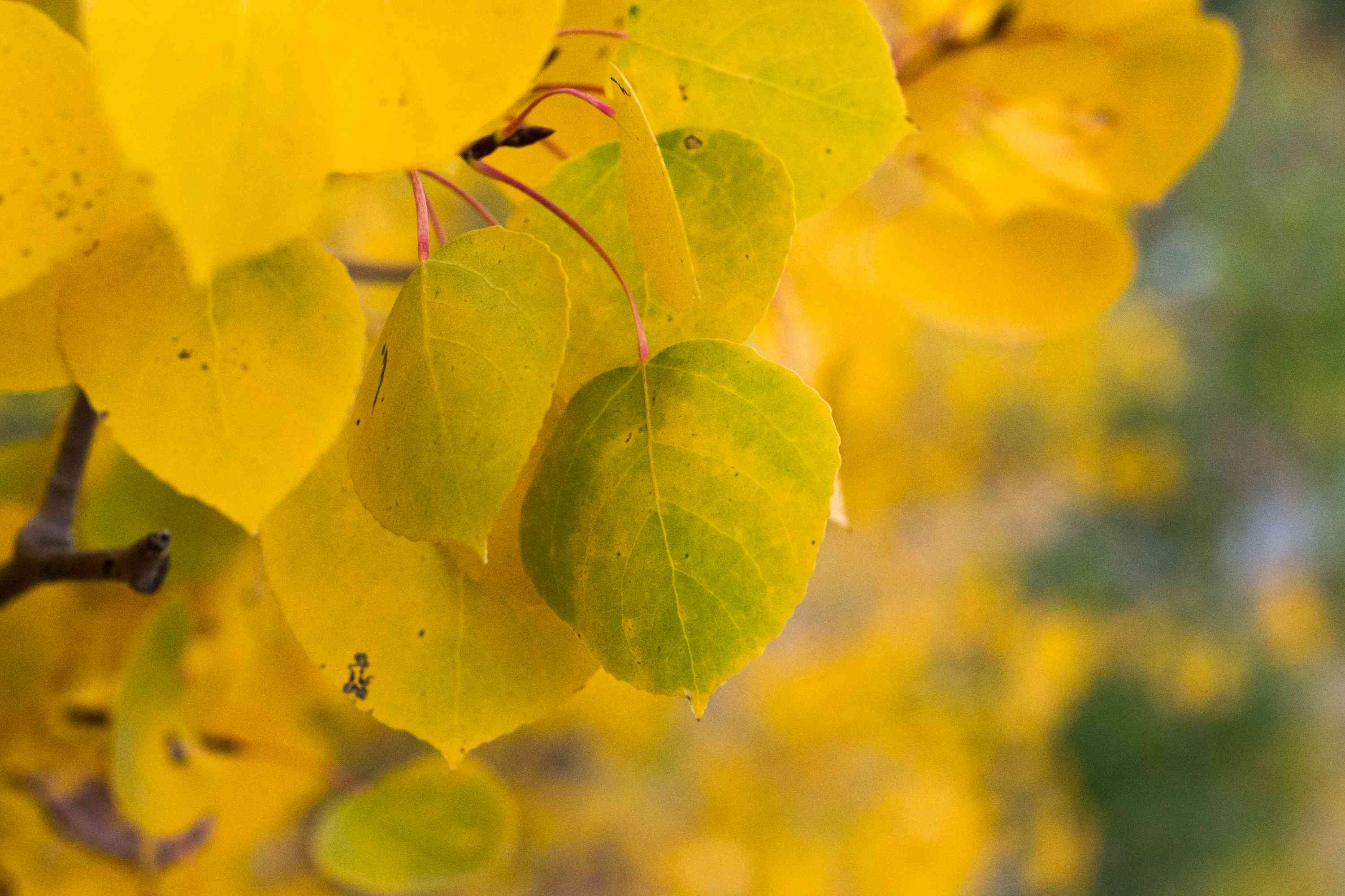 Quaking aspen tree with small golden-yellow leaves closeup