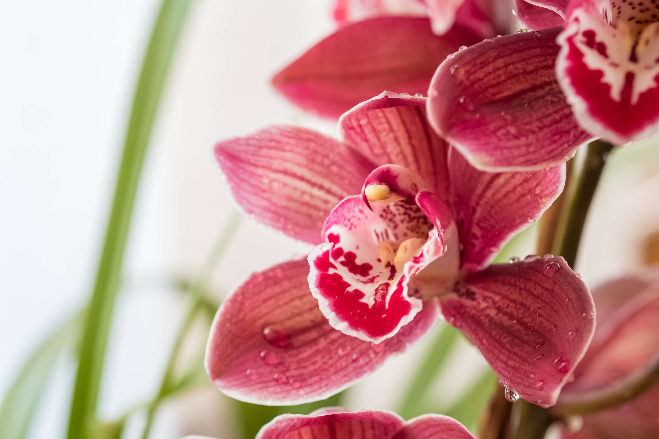 red cattleya orchids