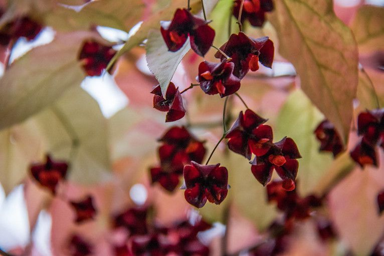 Red berries hanging from dark red calyxes among pale green leaves tinged with pink
