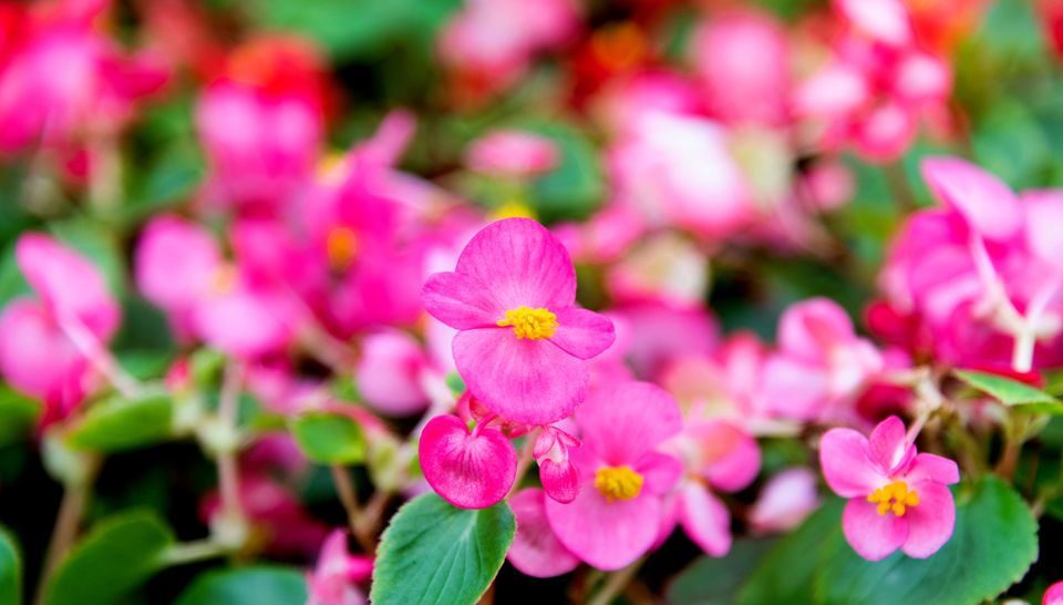 Wax begonia plant with pink blossoms