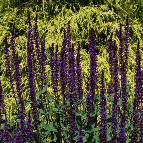 King's Gold cypress is backdrop for Caradonna salvia in picture. It's a gold and purple color combo.