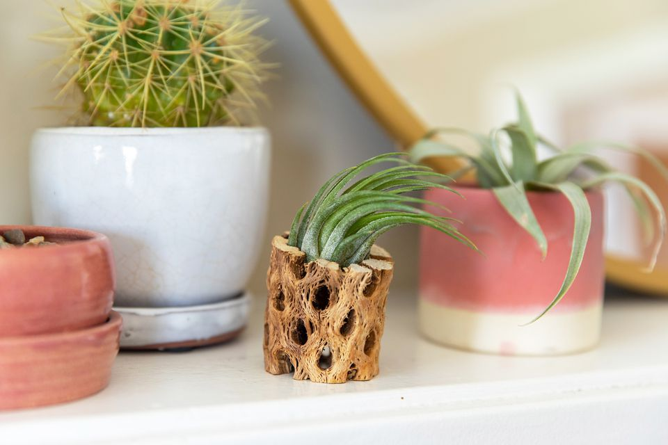 Tillandsia kolbii air plant in a wooden holder next to other airplant and small cactus