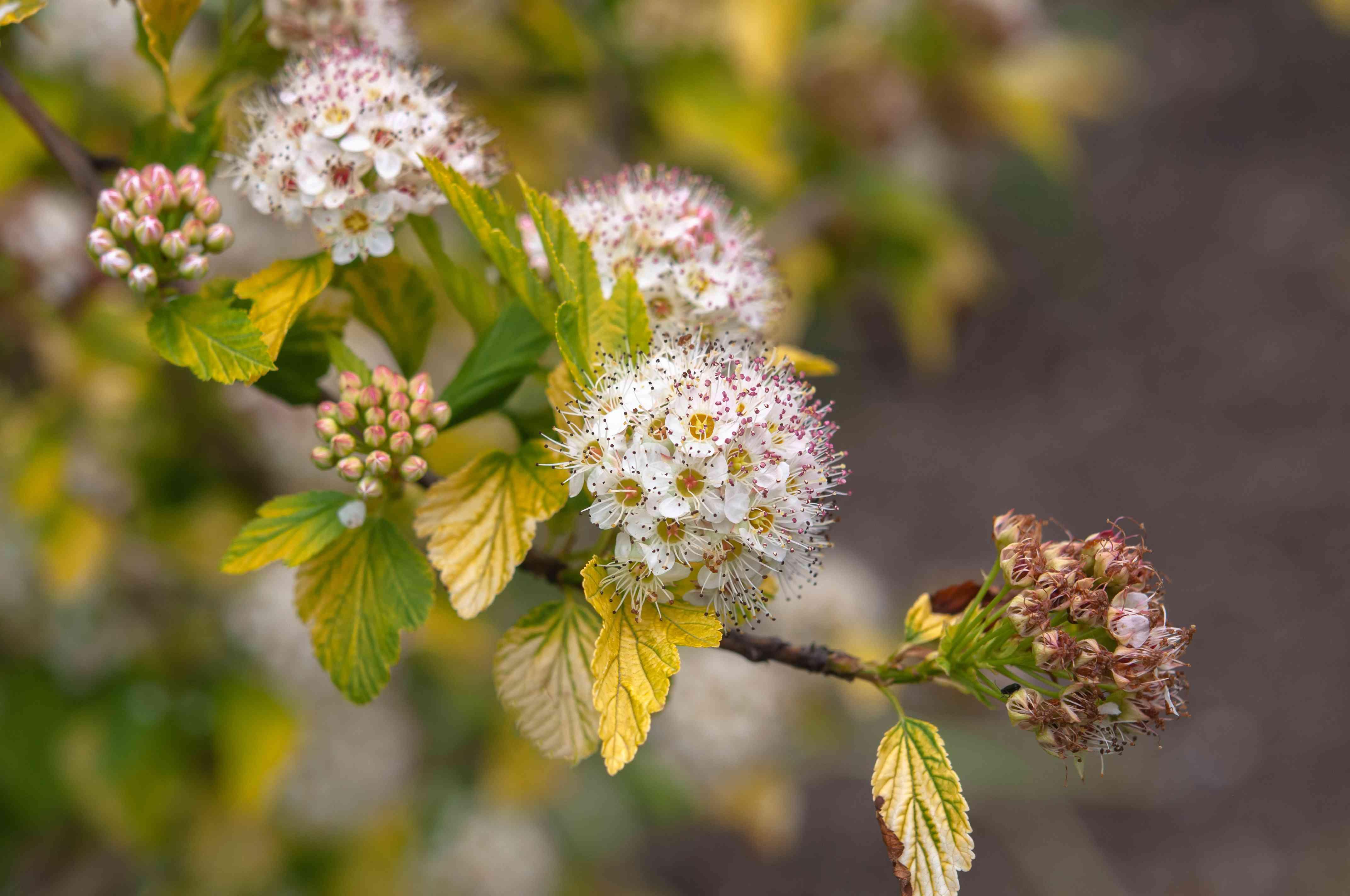 closeup of ninebark shrub