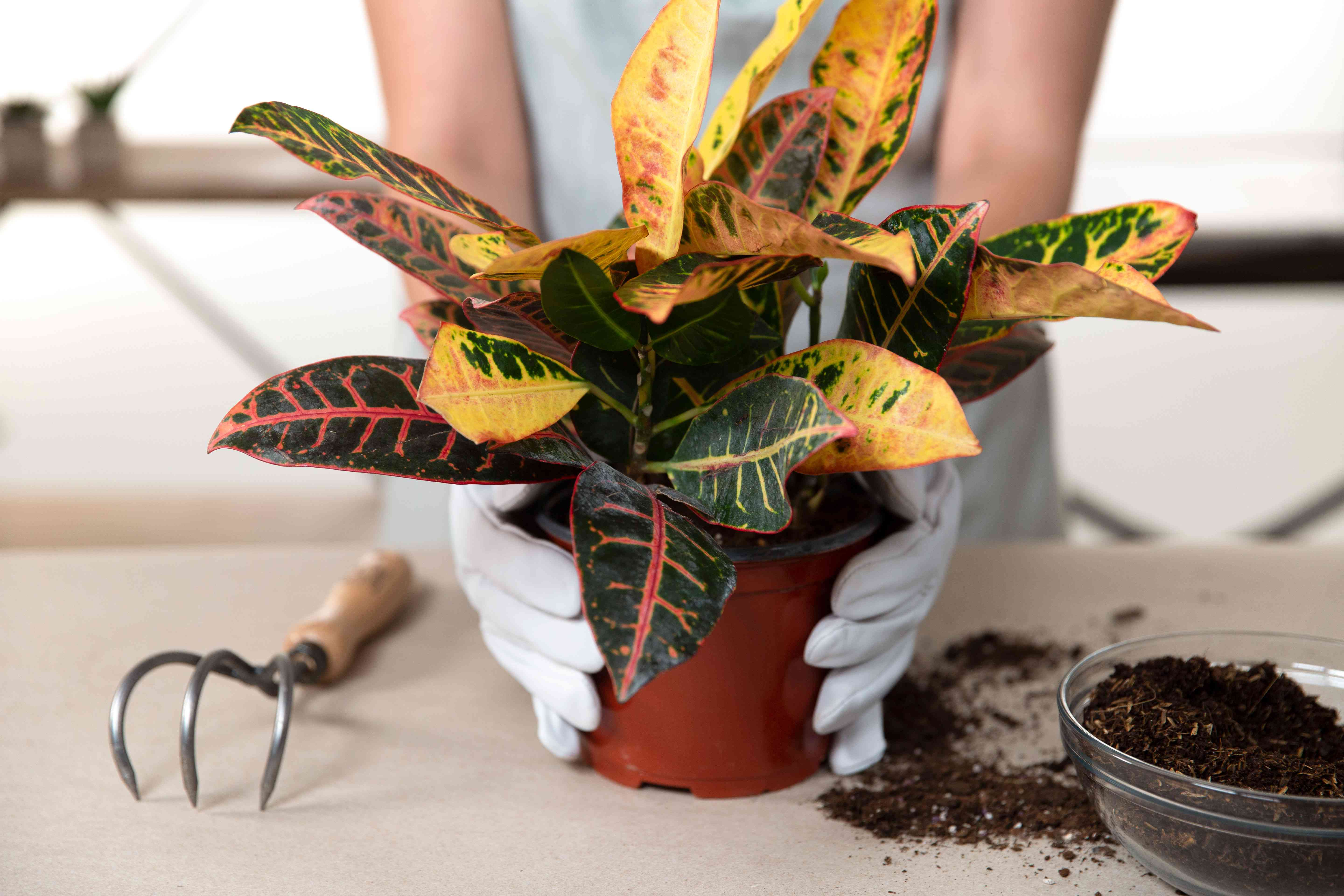 repotting a rootbound plant