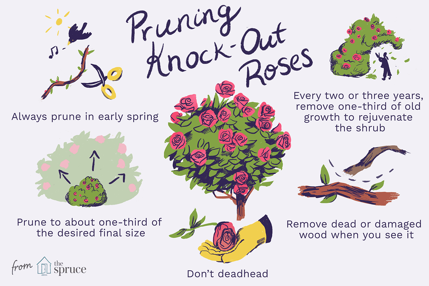 How To Prune Shrub Roses And Knock Out Roses