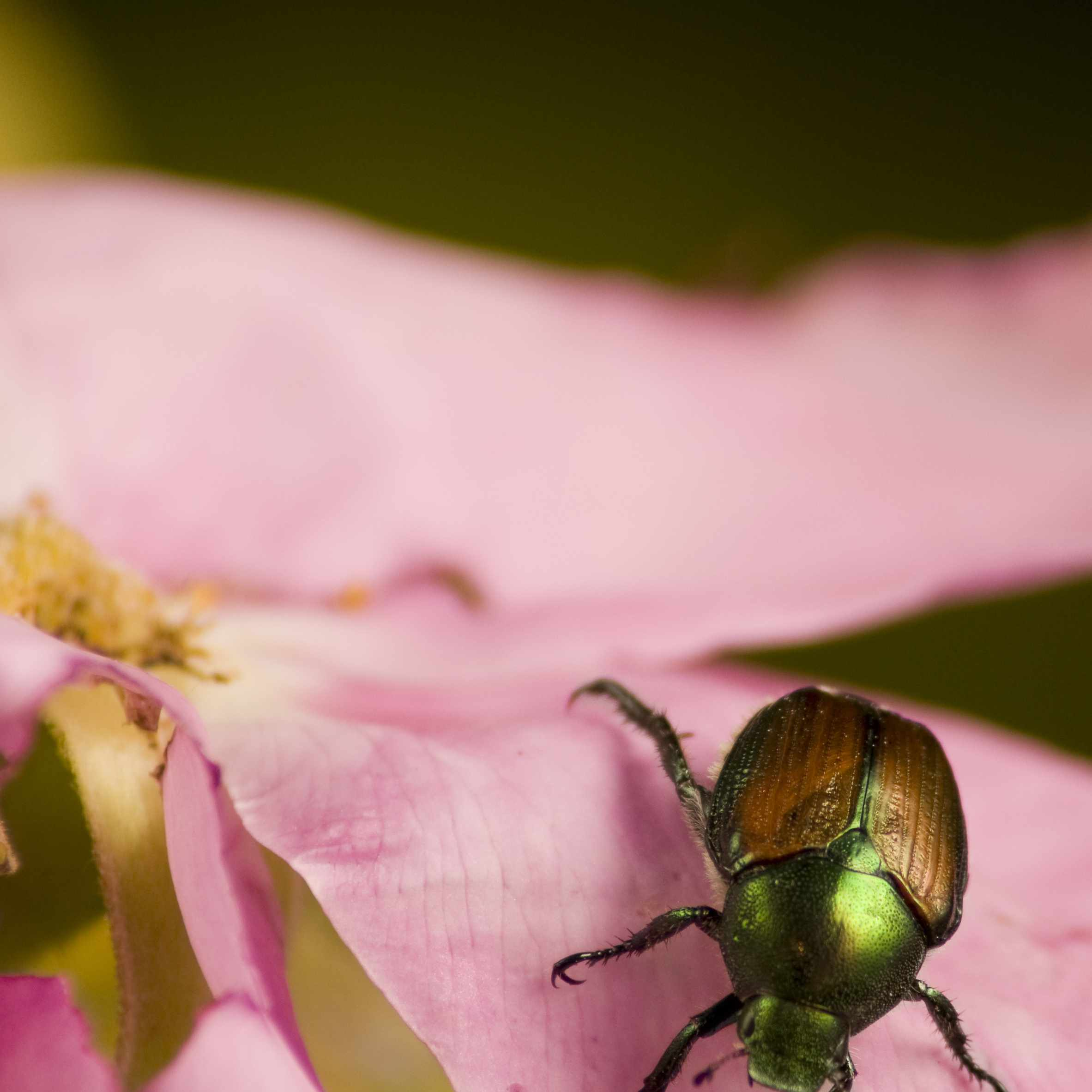 Japanese Beetle eating a rose