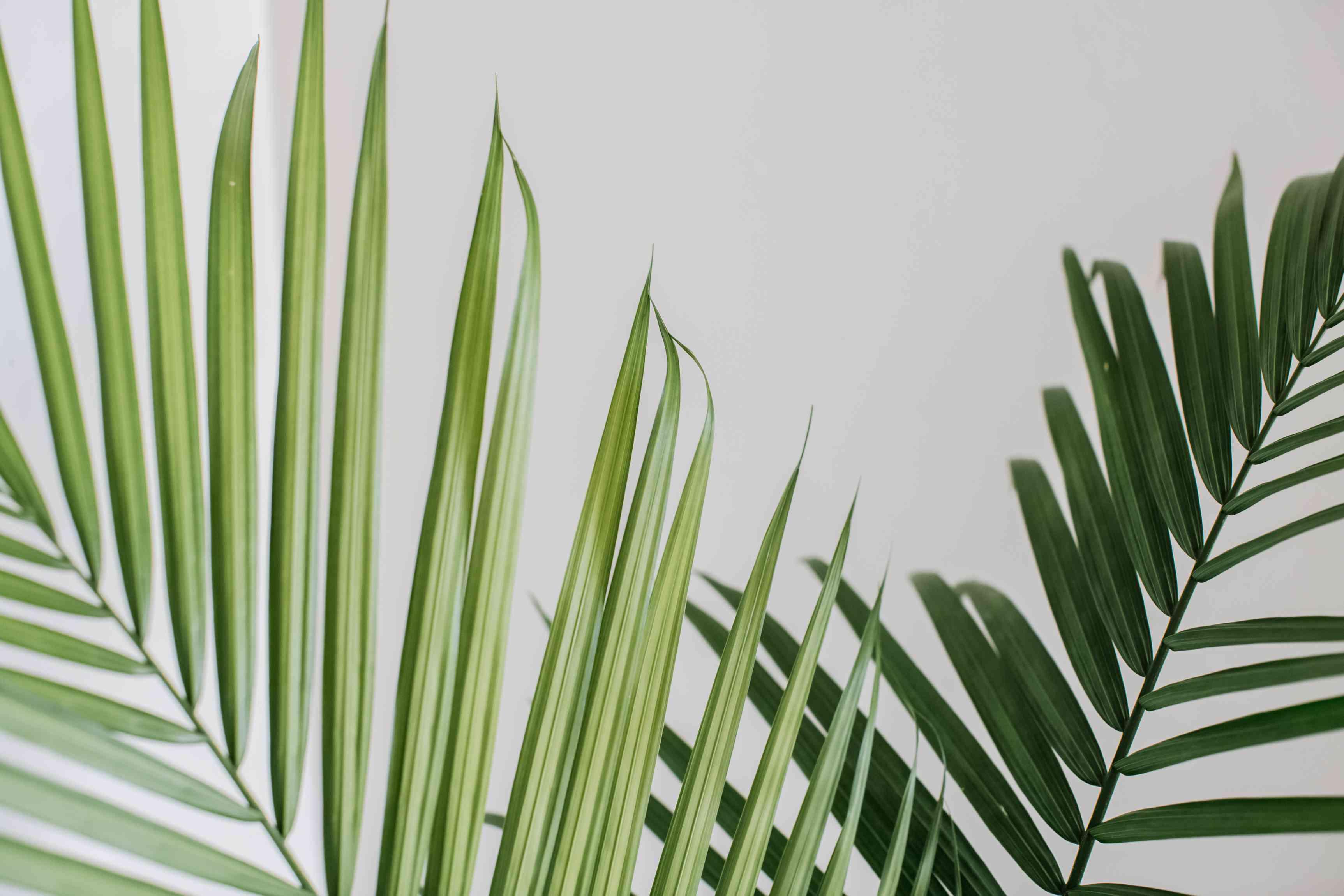 closeup of a majesty palm