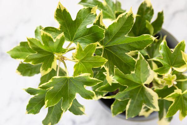 Fatshedera plant