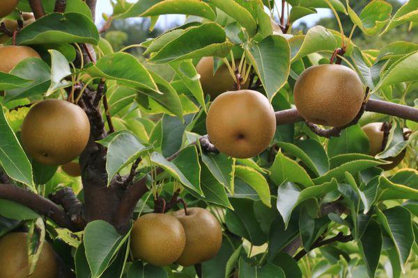 Close-up of Asian pear tree (pyrus pyrifolia)