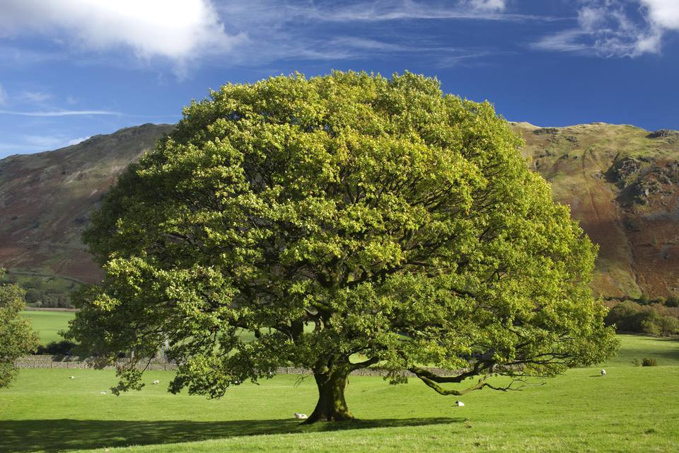 English Oak Tree, Quercus robur