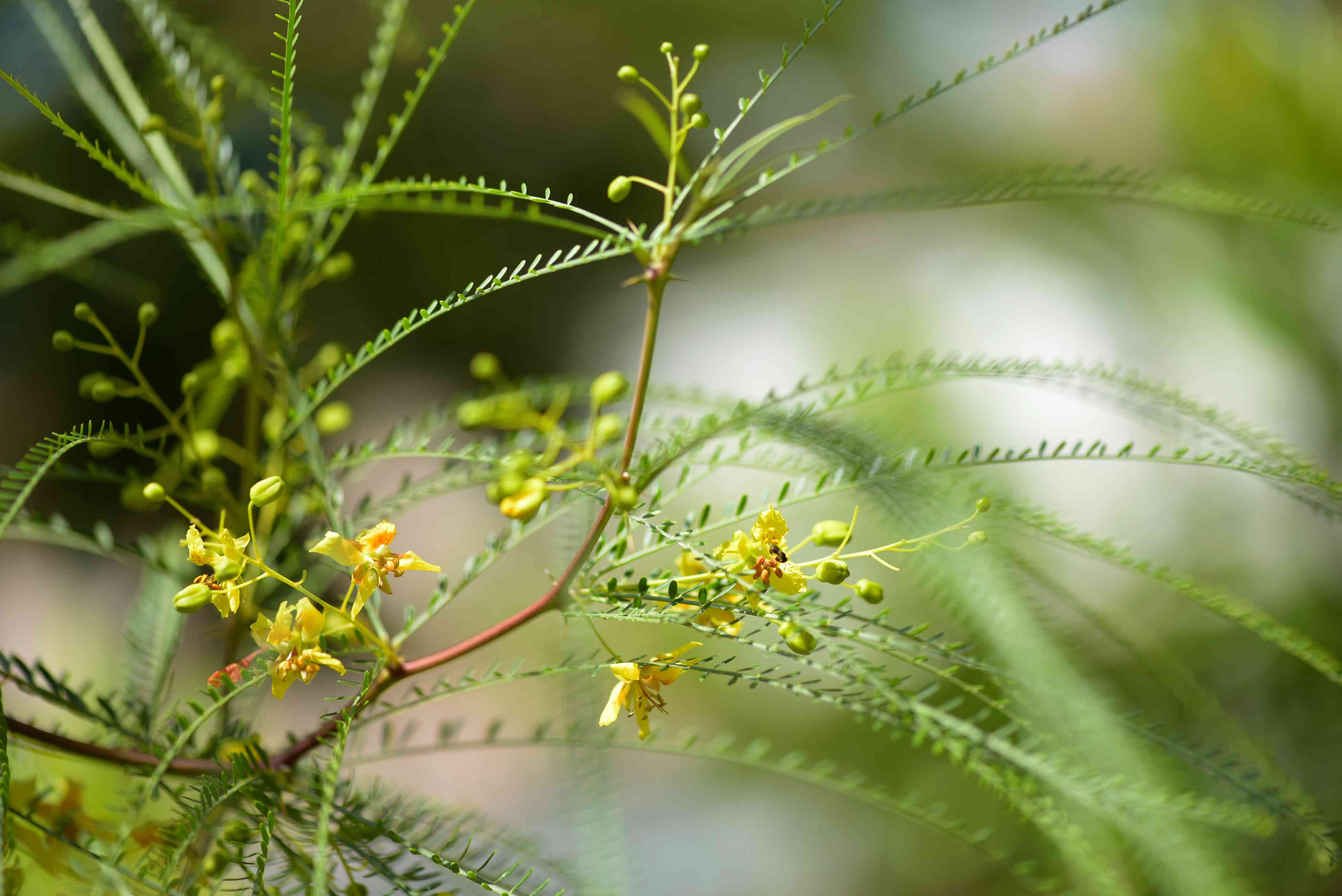 Palo verde tree branch with thin and long leaf stems and small yellow flowers with buds closeup