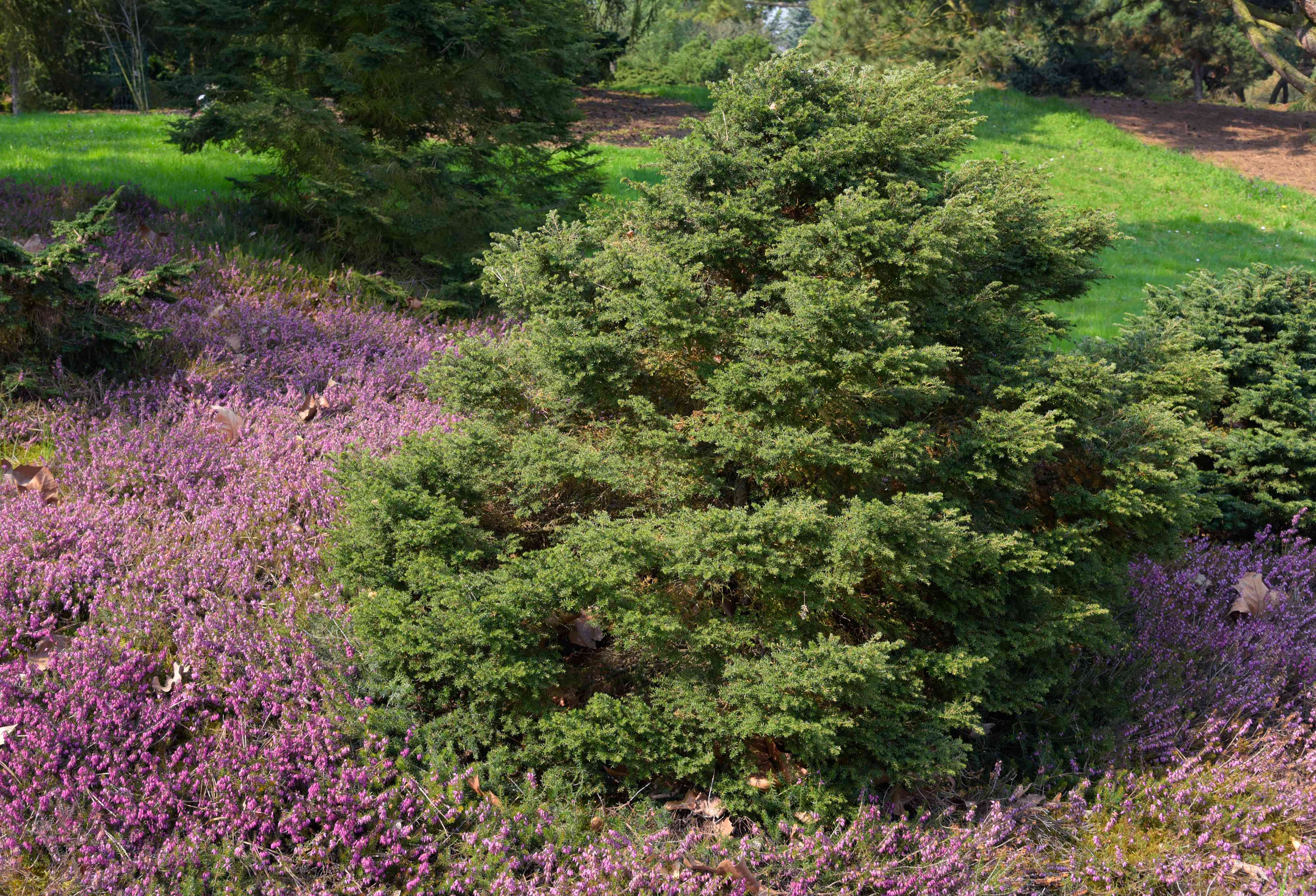 Canadian hemlock dwarf tree surrounded by purple ground cover in sunlight