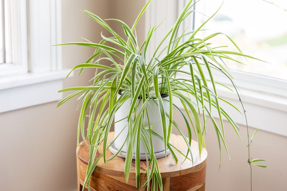 a spider plant by the windowsill
