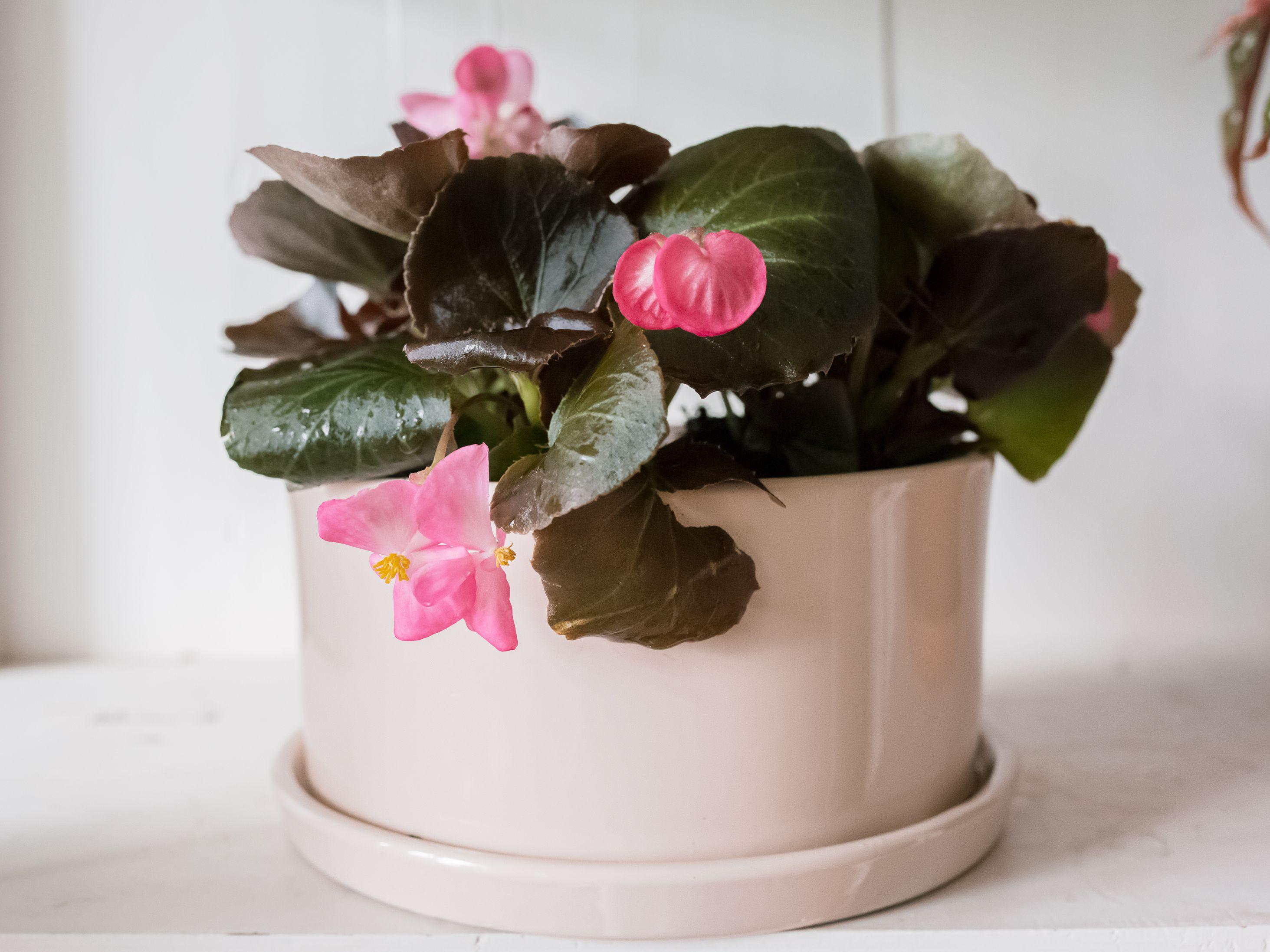 How To Grow Wax Begonias Semperflorens Indoors