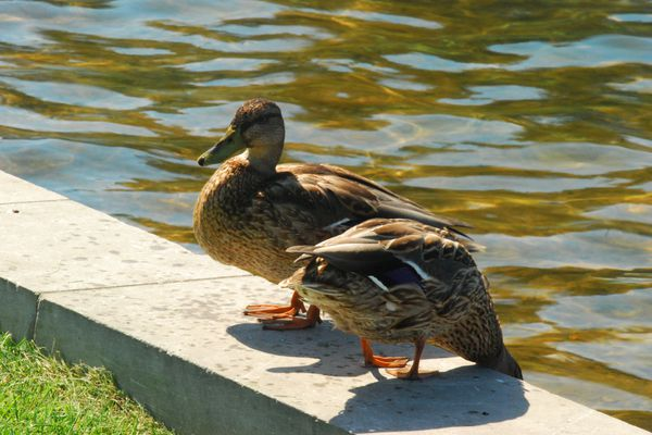 A pair of ducks by a pond.