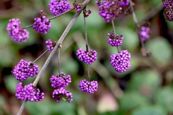 Purple Beautyberry Bush