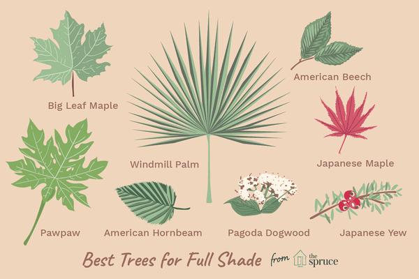 illustration of tree varieties that grow in full shade