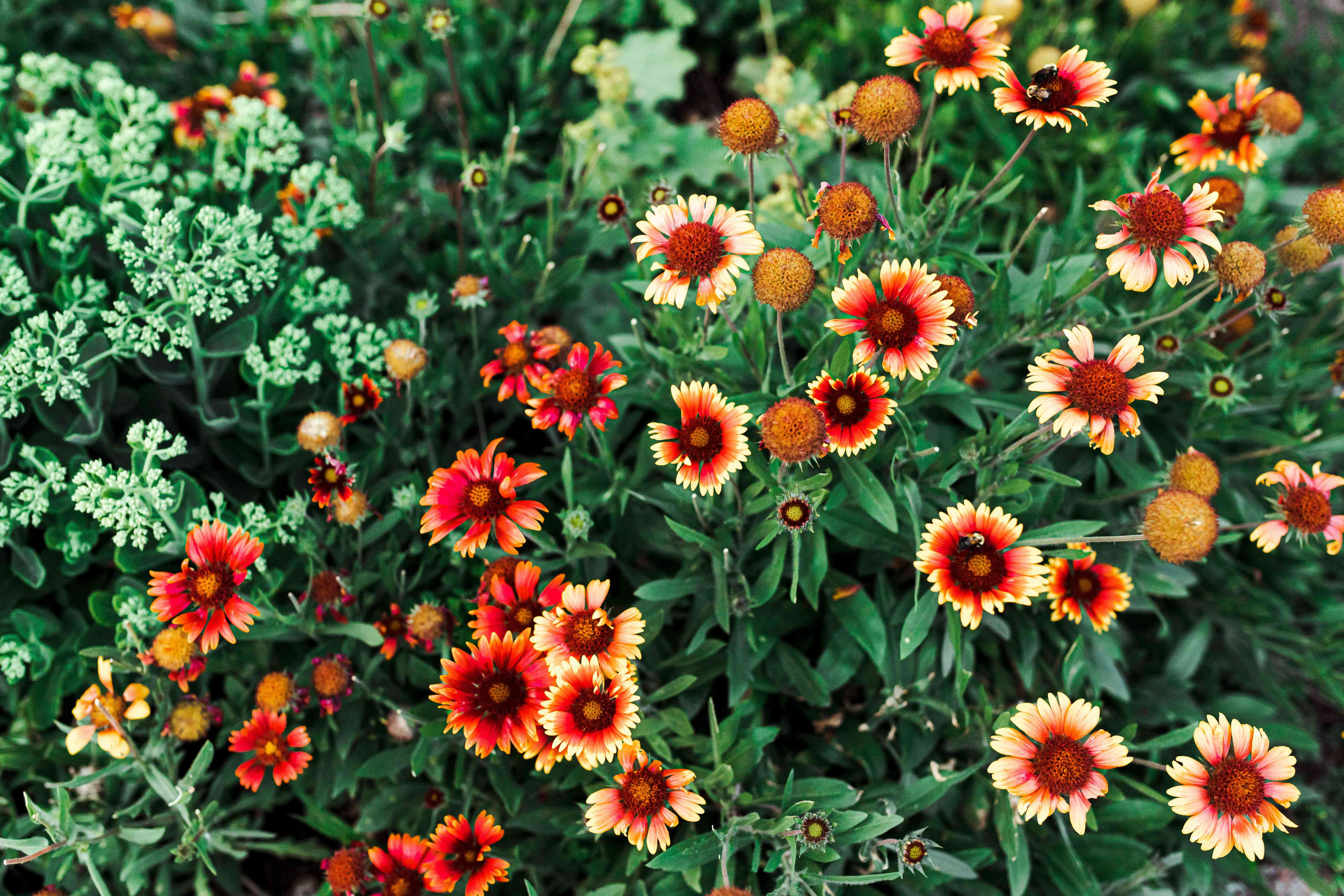 Blanket flowers with yellow and bright orange colored petals in garden