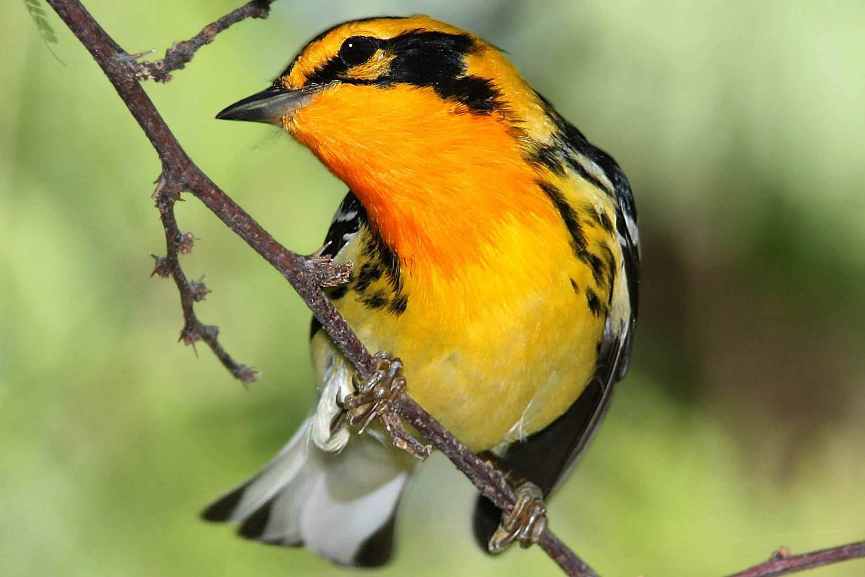 Black Bird With Orange Chest 3