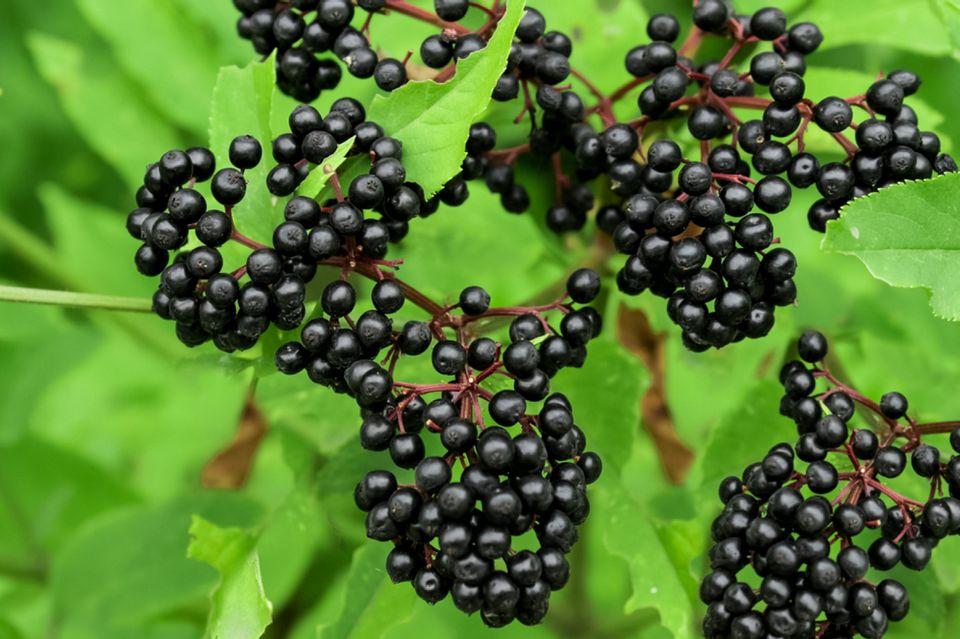 Elderberries growing