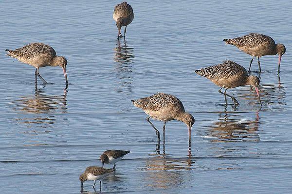 Shorebirds Feeding