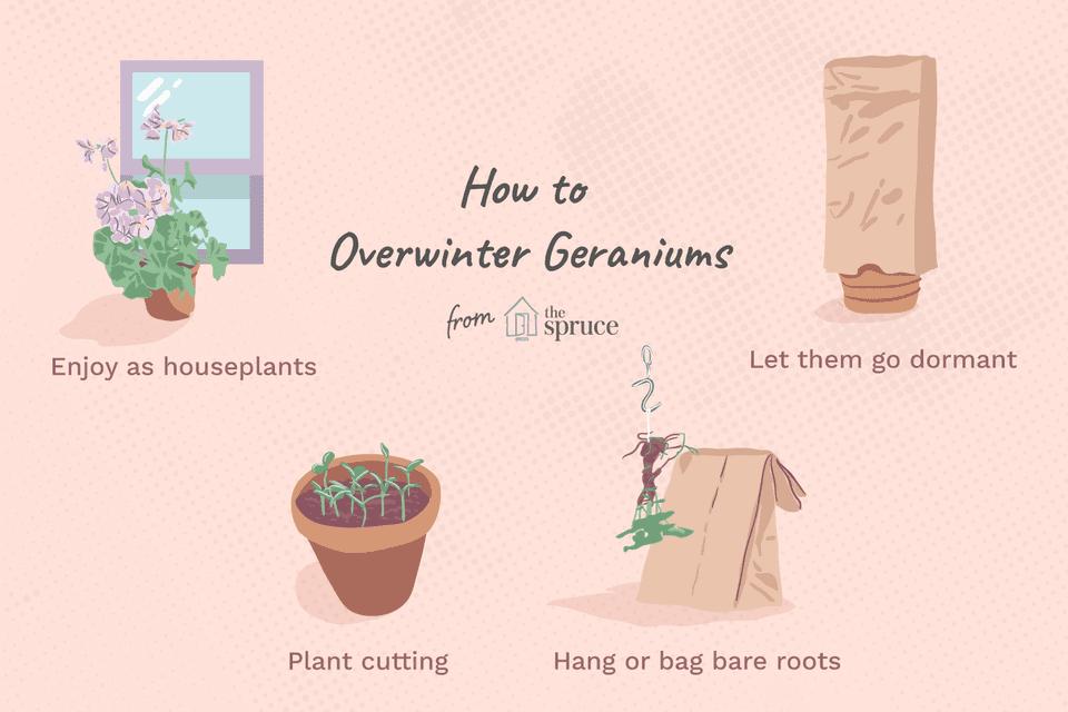 overwinter geraniums