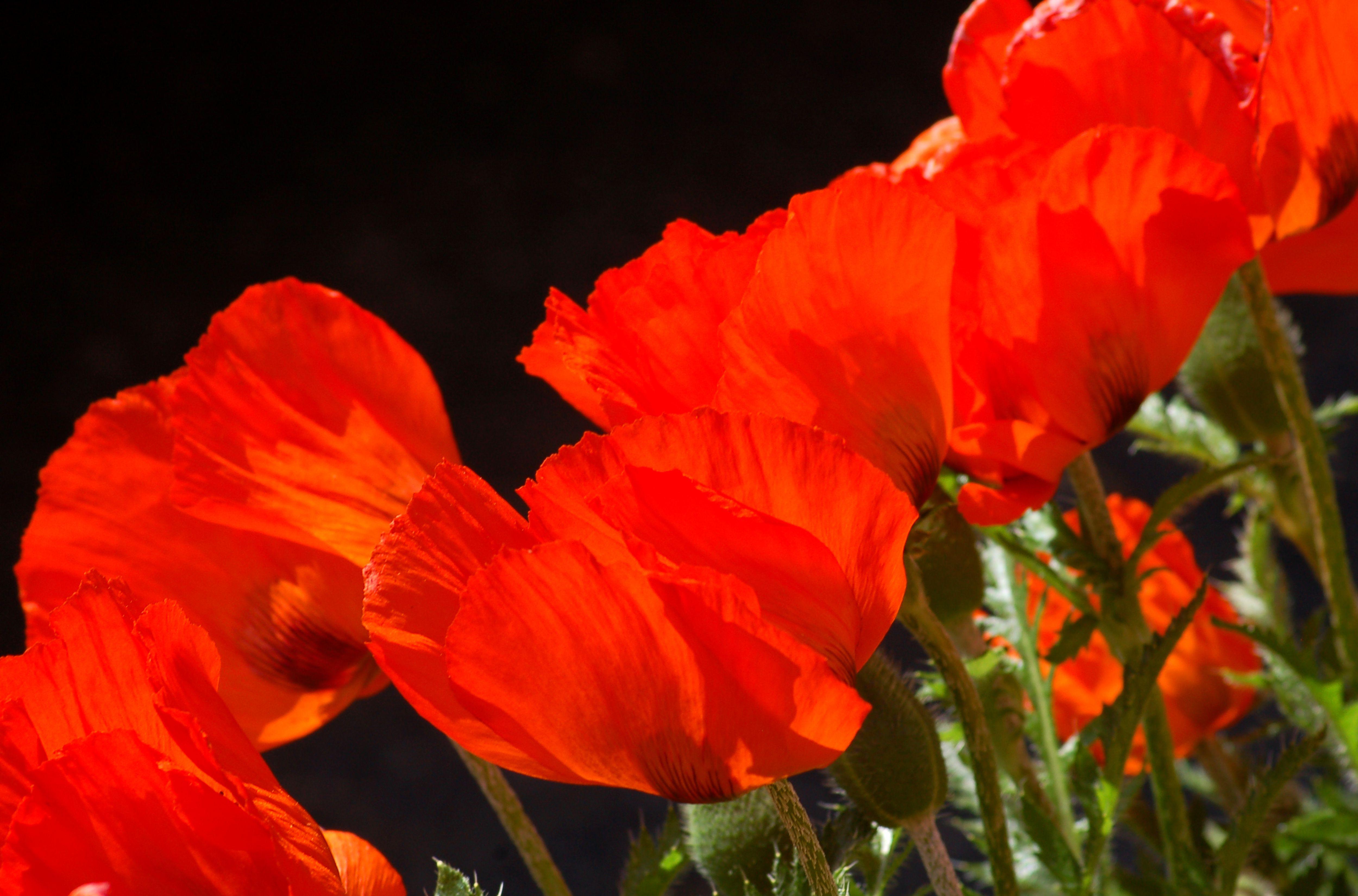 Oriental poppy flowers.