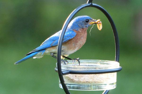 Bluebird Eating Mealworms