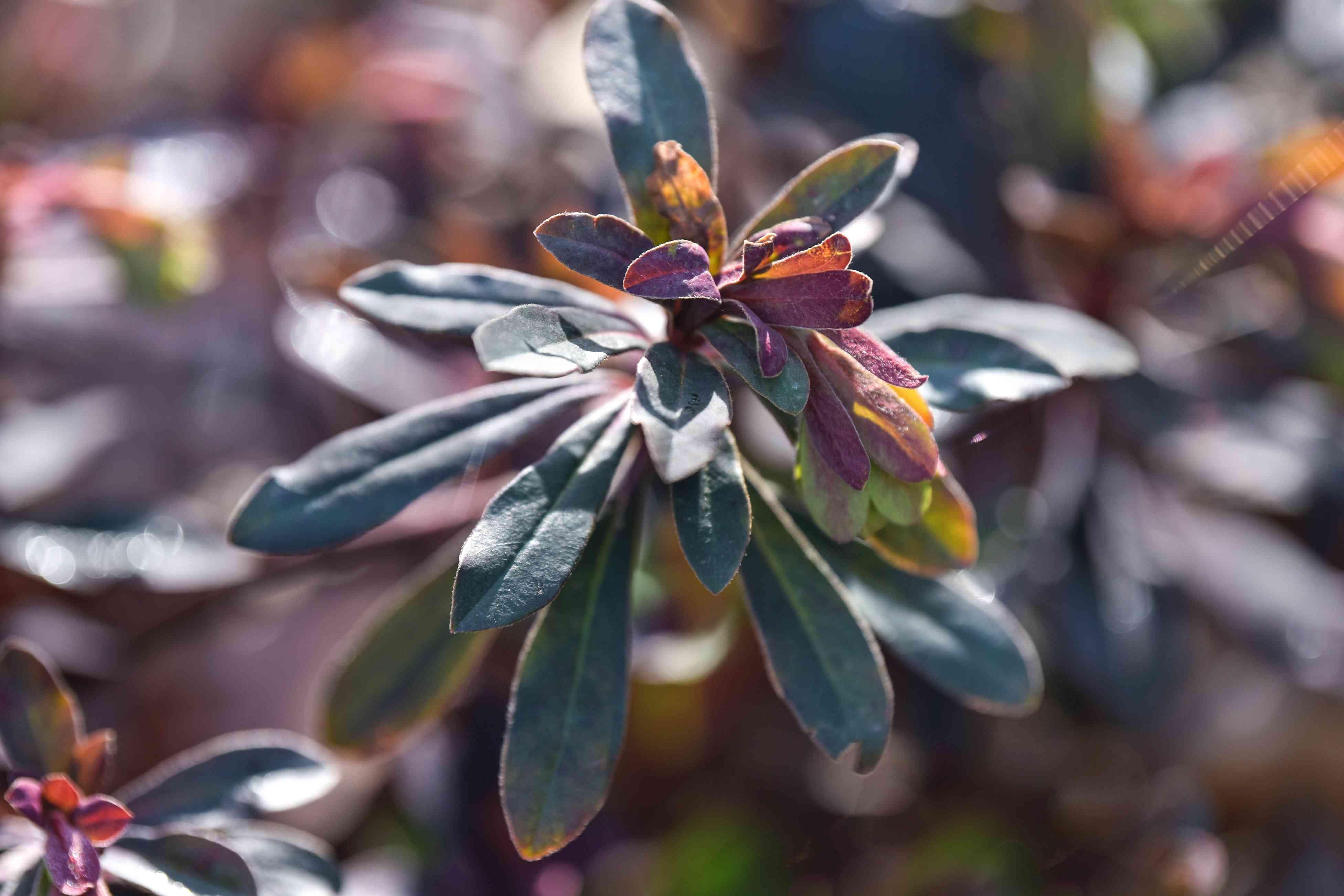 Purple wood spurge purpurea plant with dark green and purple-tinged leaves on end of stem closeup