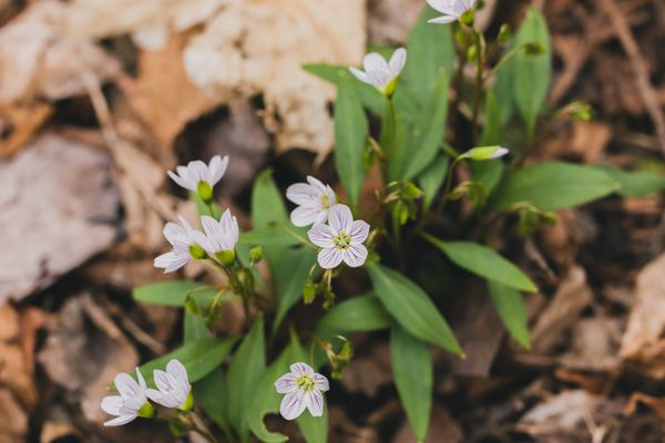 Spring beauty plant with delicate pink-striped flowers closeup