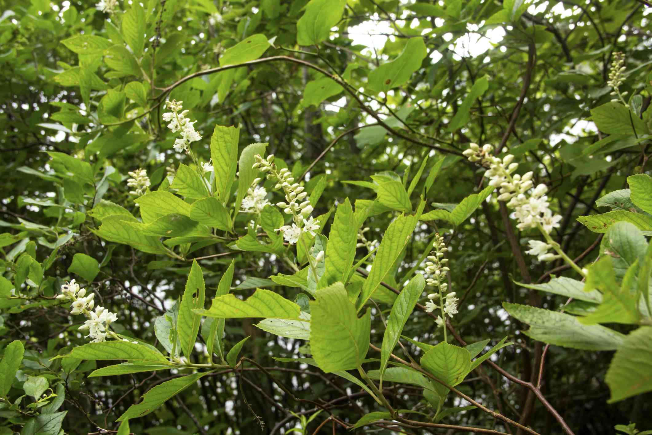 Sweet pepperbush in bloom