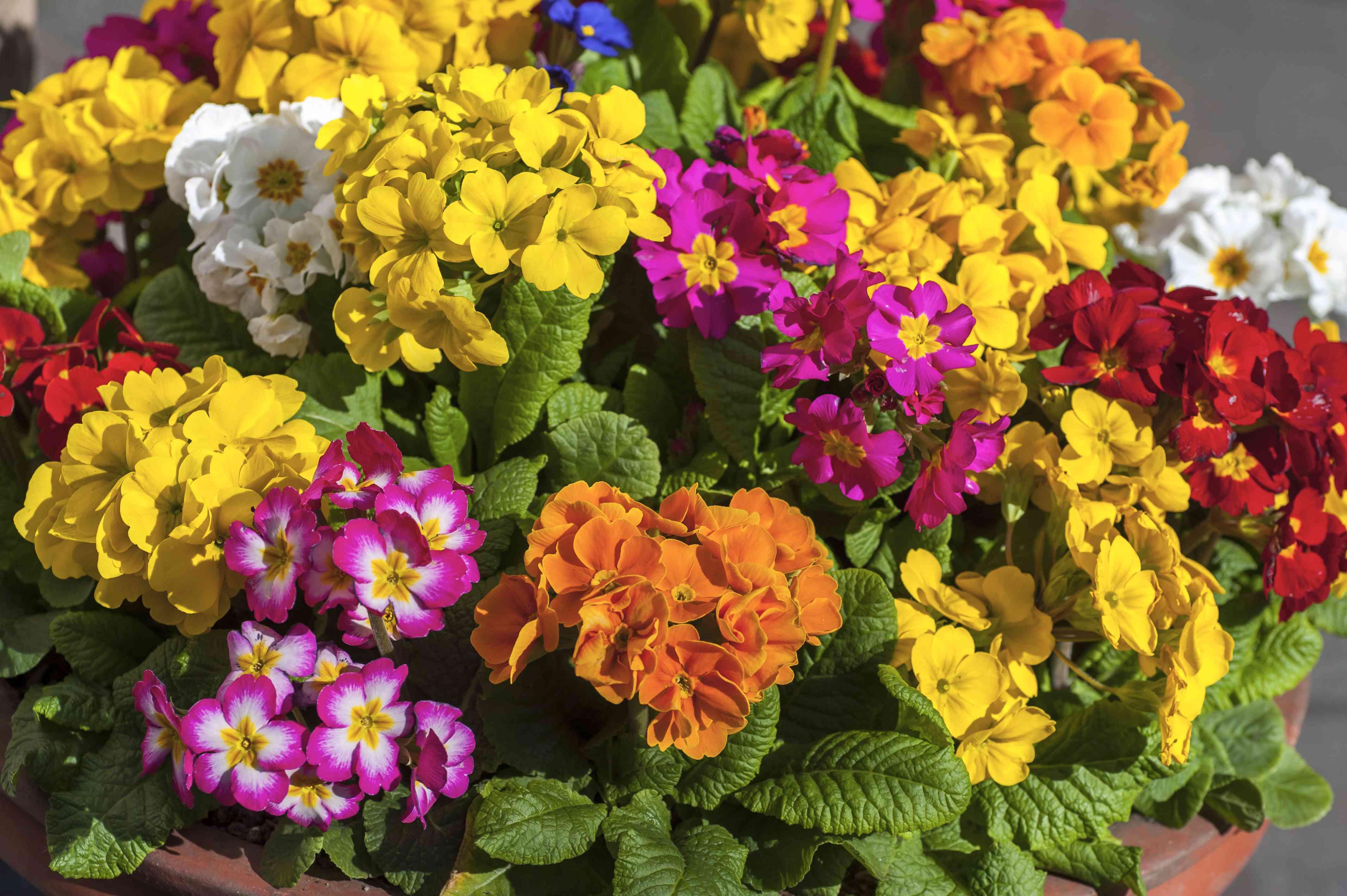 multi-color primroses