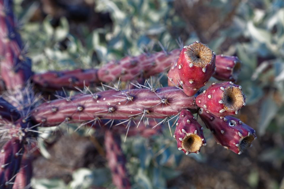 A cholla cactus fruit