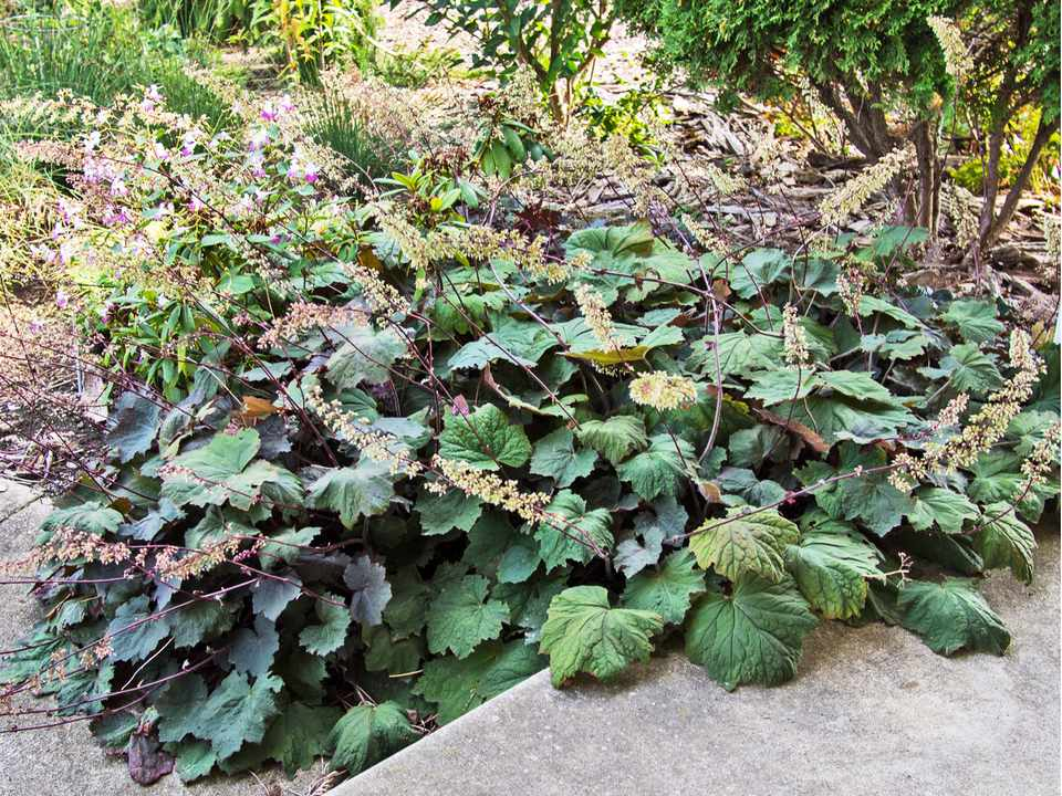 Heuchera on Edge of Path