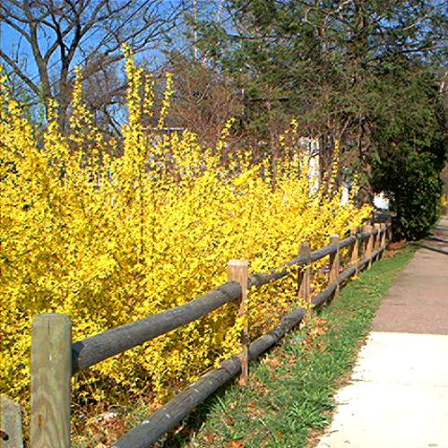 Picture of fence back-planted with forsythia.