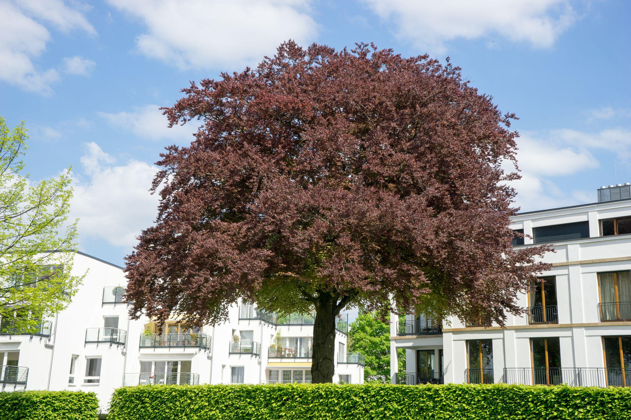 Purple beech tree.