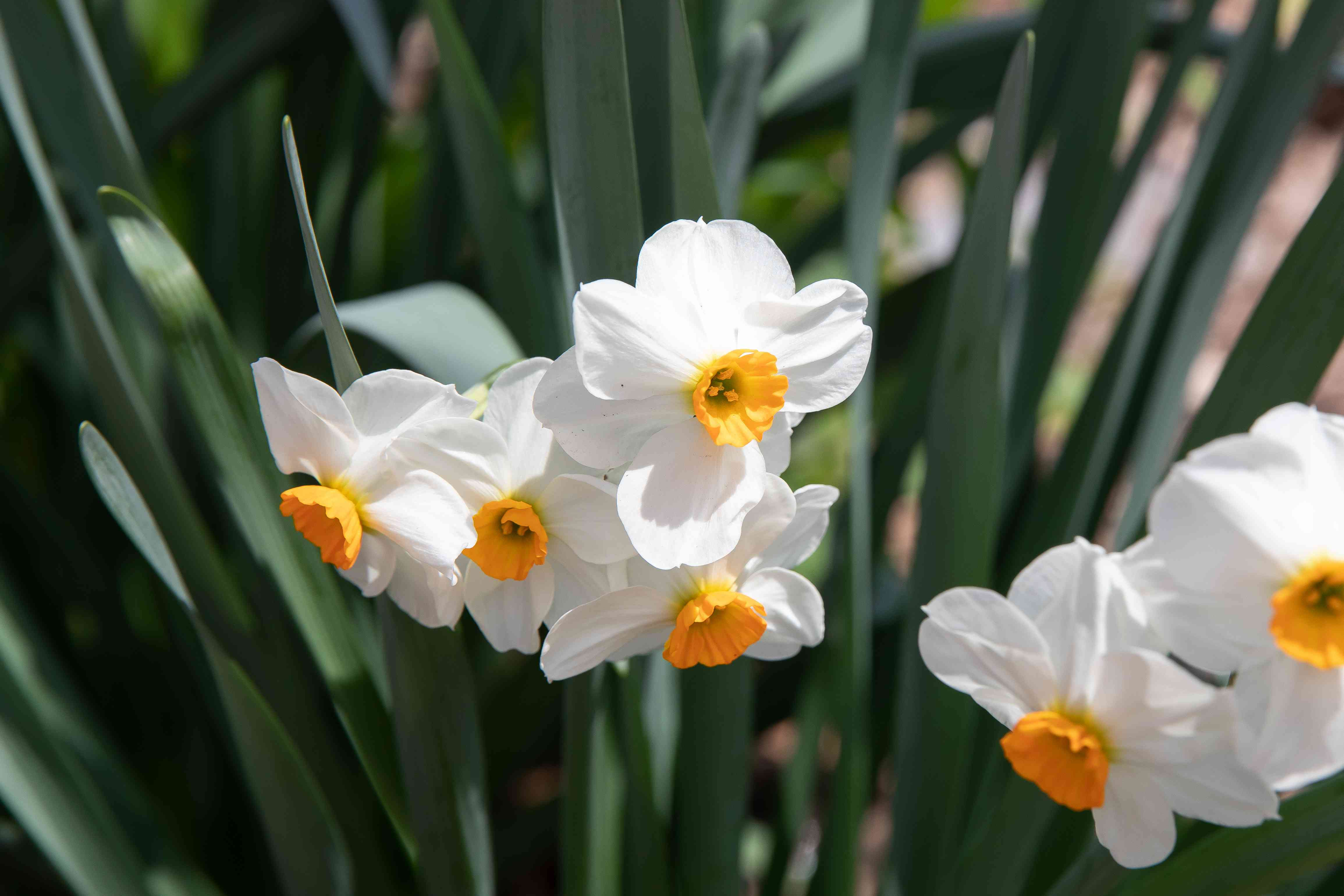 White daffodil flowers with yellow centers surrounded by long leaves in sunlight