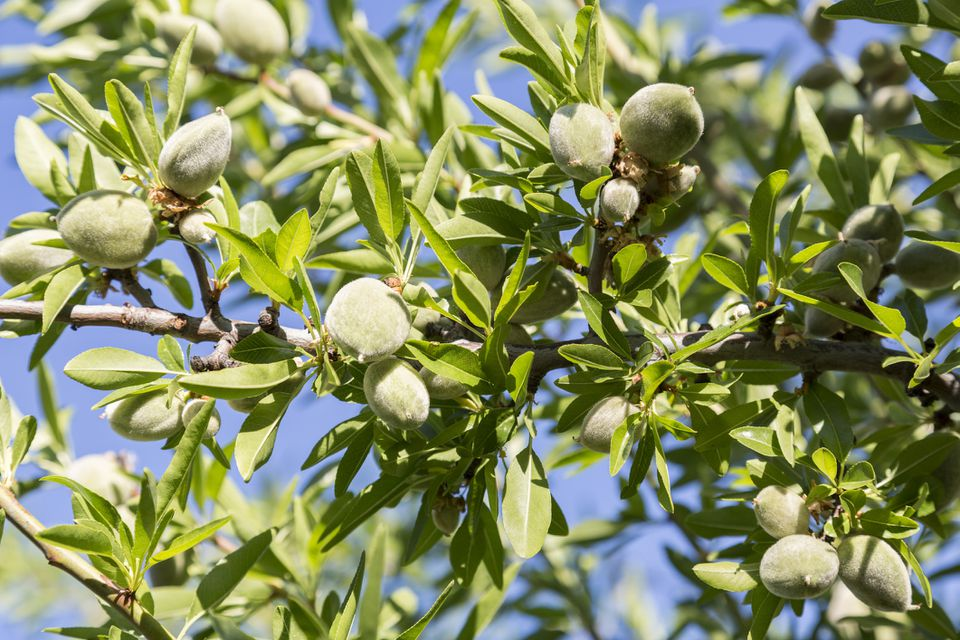 Almond tree with nuts