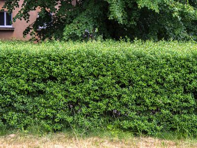 Privet hedge in front of building and tree branches