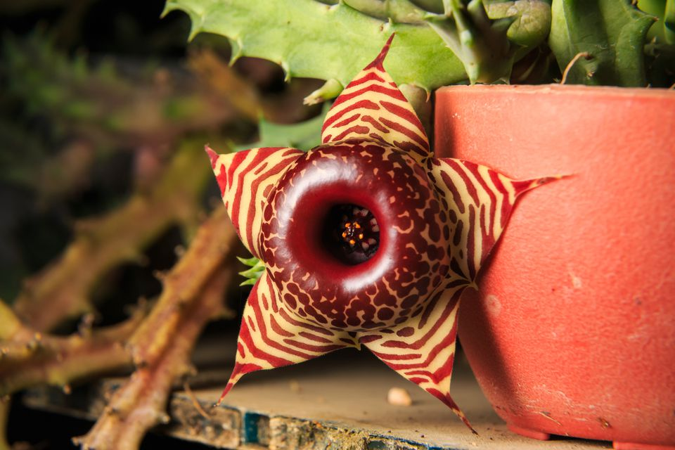 Huernia zebrina in bloom