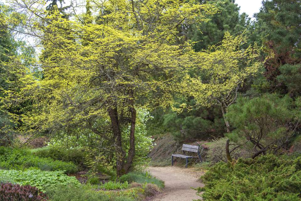 Lacebark elm tree with bright yellow flowers in branches next to pathway