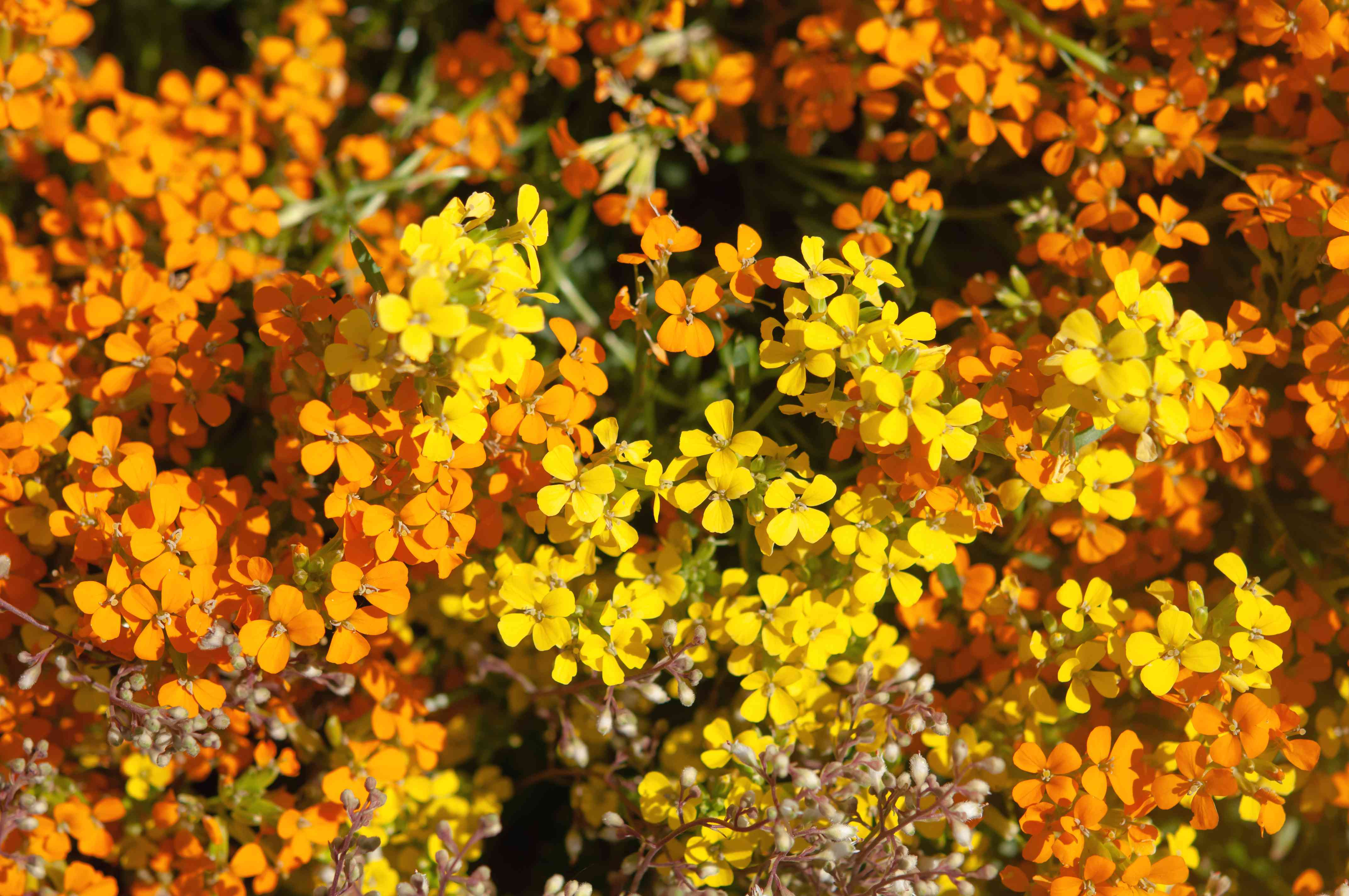 Altgold wallflower plant with yellow and orange flowers in sunlight