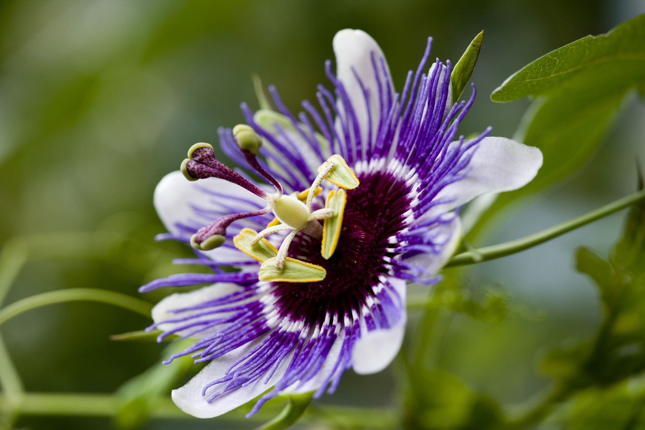 Growing Passion Flowers Passiflora