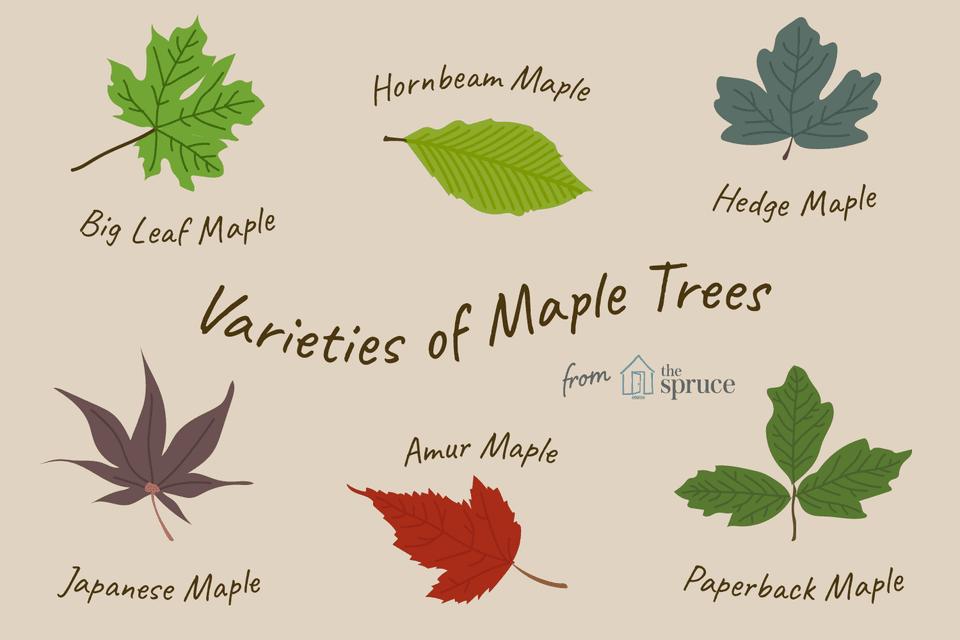 Varieties of Maple Trees